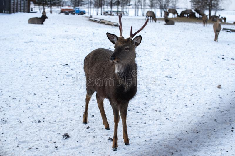 Portrait of a deer with horns in the winter on a livestock farm. royalty free stock photography