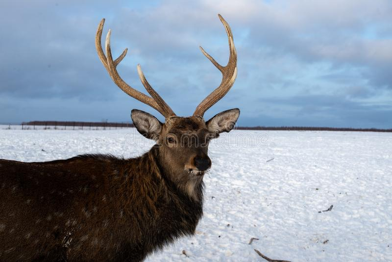 Portrait of a deer with horns in the winter on a livestock farm. stock images