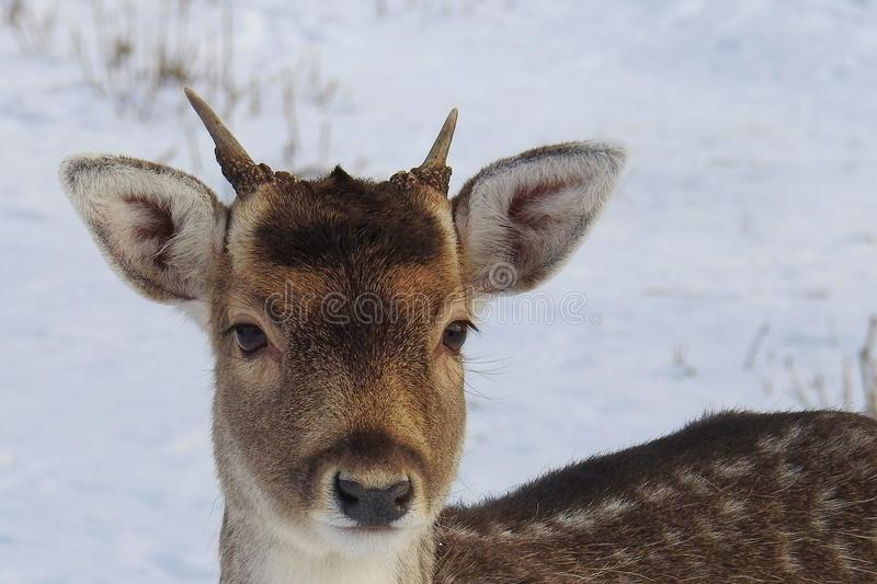 Portrait of Deer on Snow royalty free stock photography