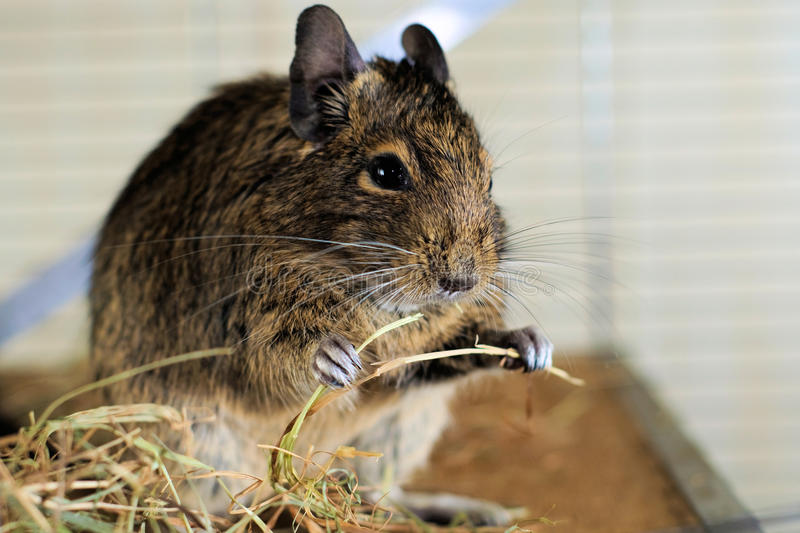 Portrait of degu eating hay