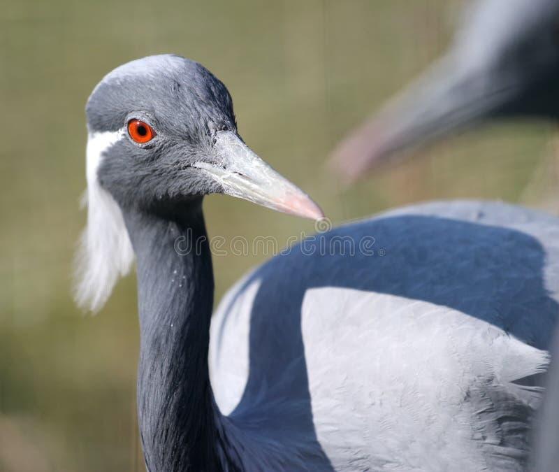 Portrait of demoiselle crane royalty free stock image