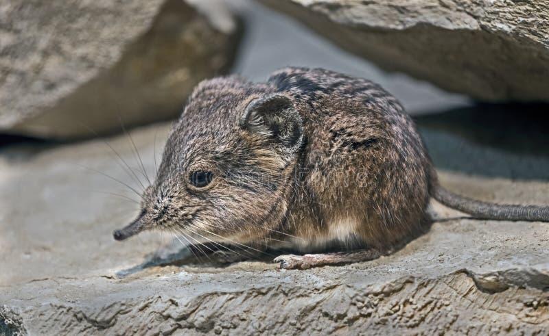 Portrait der gestreiften Gras-Maus lizenzfreies stockfoto