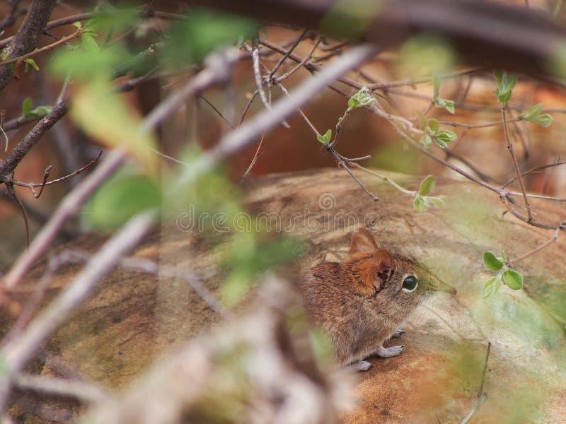 Portrait der gestreiften Gras-Maus stockbilder
