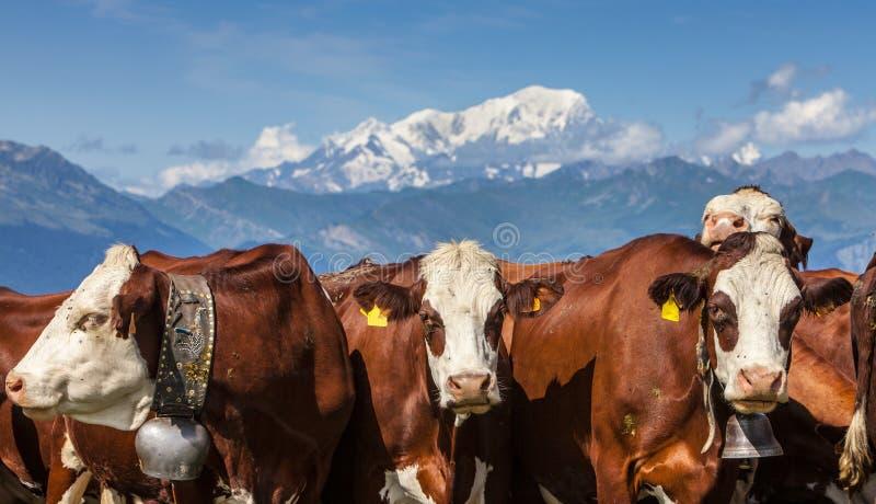 Portrait Der Kühe Lizenzfreies Stockfoto