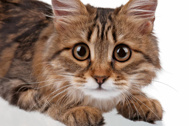 portrait der katze mit großen augen stockbild  bild von