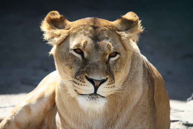 Portrait der lächelnden Löwin stockfoto