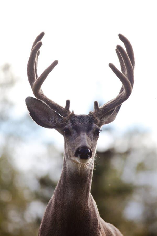 Portrait der Maultierrotwild sträuben sich mit dem Samtgeweih lizenzfreies stockbild