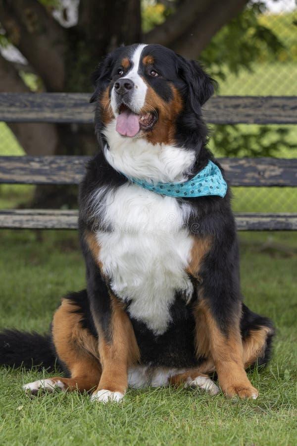 Portrait des Bernese Gebirgshundes stockbilder
