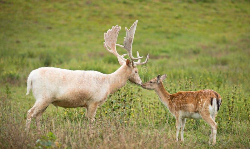 Portrait des cerfs communs blancs embrassant la daine sur un pré photo stock