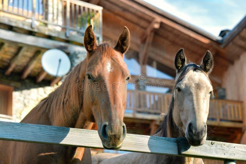 Portrait des chevaux derrière une barrière photos stock