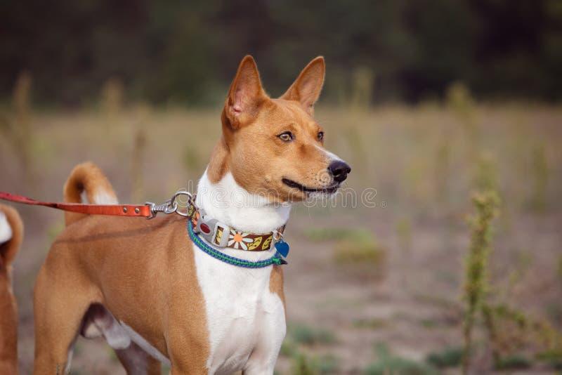Portrait des chiens de Basenji dehors photos stock