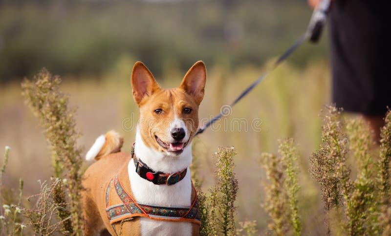 Portrait des chiens de Basenji dehors photographie stock