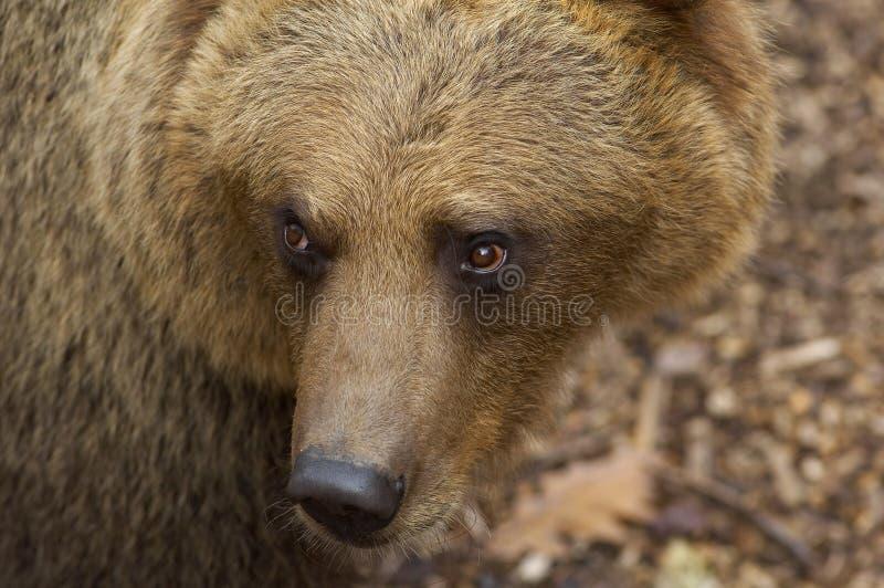 Portrait des europäischen braunen Bären stockfotos