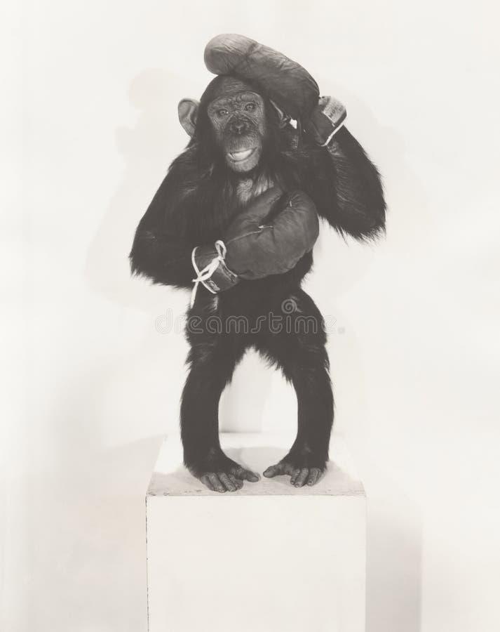 Portrait des gants de boxe de port de singe photo libre de droits