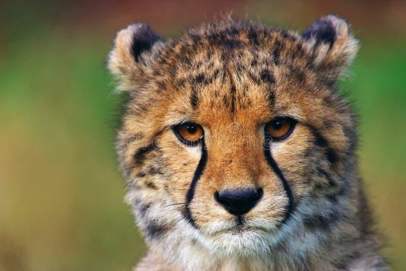 Portrait des Gepardjungen lizenzfreie stockfotos