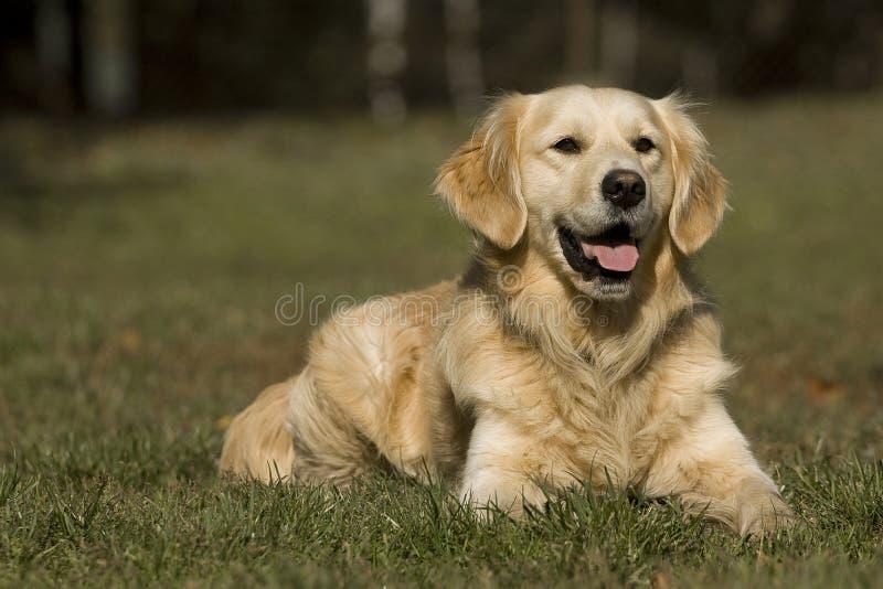 Portrait des goldenen Apportierhunds stockbilder