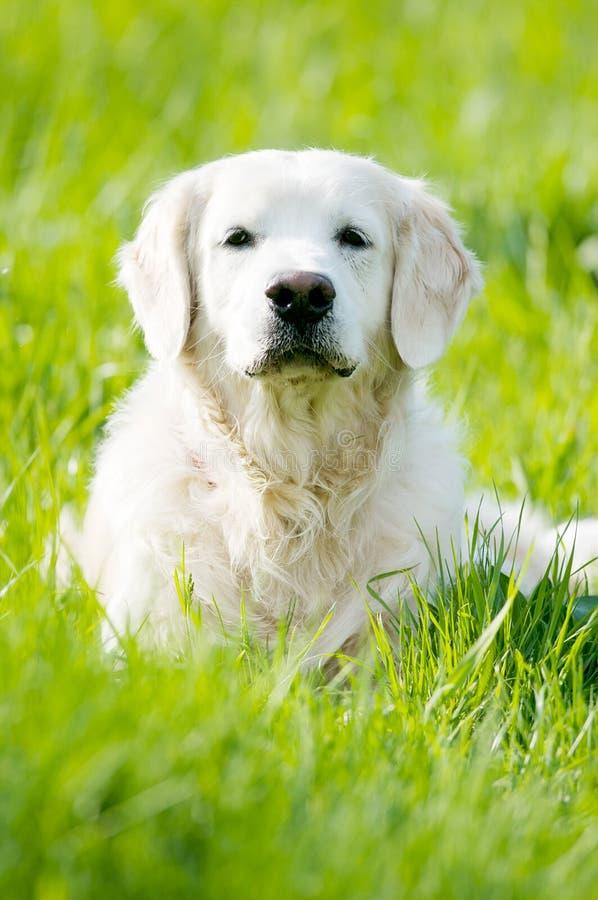 Portrait des goldenen Apportierhunds am Sommer lizenzfreie stockfotografie