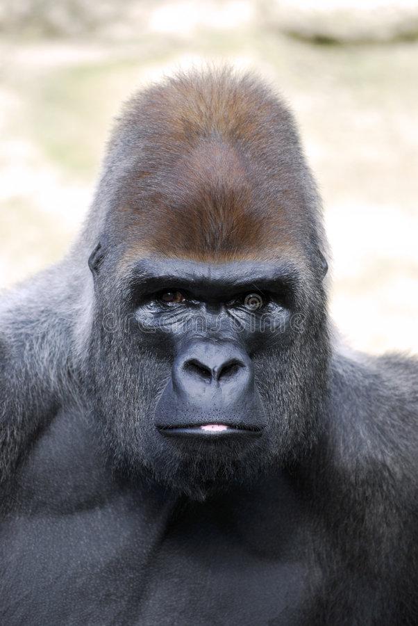 Portrait des Gorillas lizenzfreie stockbilder
