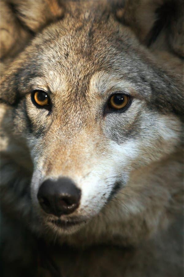 Portrait des grauen Wolfs (Canis Lupus) stockfotografie