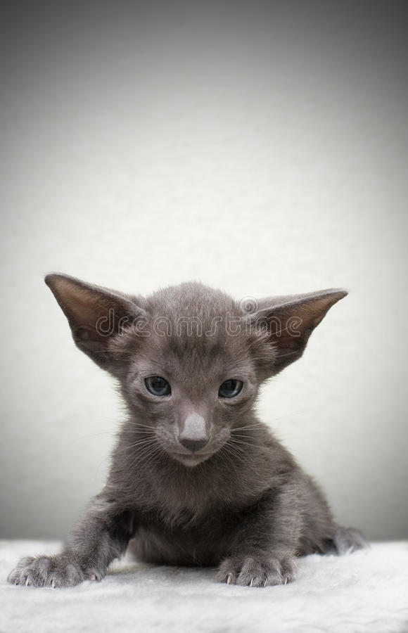 Portrait des Kätzchens stockbilder