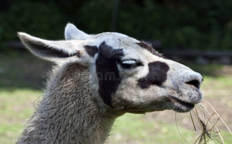 Portrait des Lamas lizenzfreie stockbilder
