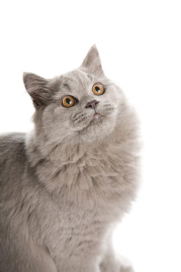 Portrait des netten britischen Kätzchens getrennt lizenzfreie stockfotografie