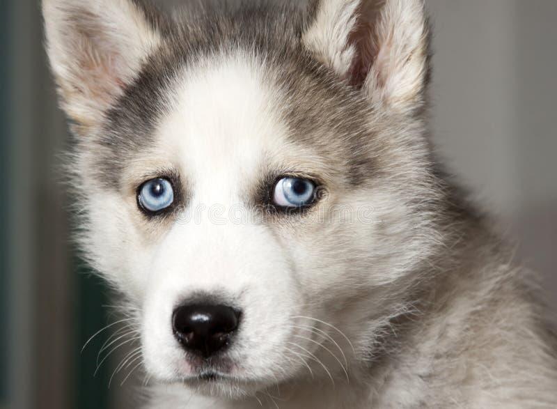 Portrait des netten Welpen des sibirischen Schlittenhunds lizenzfreie stockfotos