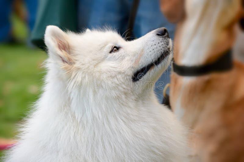 Portrait des Pyrenean Gebirgshundes (große Pyrenees) stockfotografie