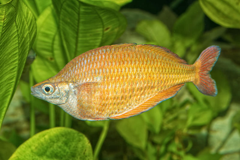 Portrait des rainbowfish et du x28 ; Herbertaxelrodi& x29 de Melanotaenia ; dans l'aquarium image stock