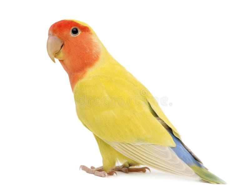 Portrait des Rosig-gegenübergestellten Lovebird stockfotos