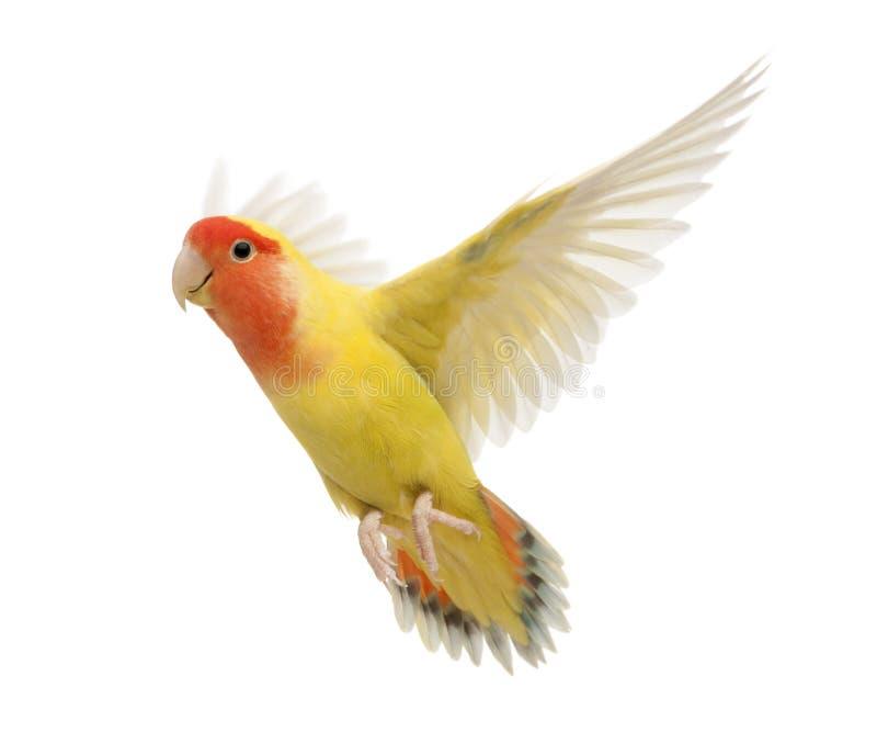 Portrait des Rosig-gegenübergestellten Lovebirdflugwesens stockbilder