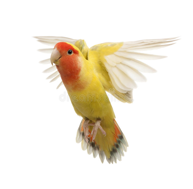 Portrait des Rosig-gegenübergestellten Lovebirdflugwesens stockfotos