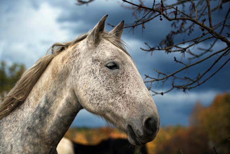 Portrait des wei?en Pferds stockfotos