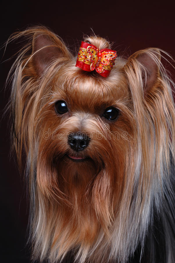 Portrait des Yorkshire-Terriers lizenzfreie stockbilder