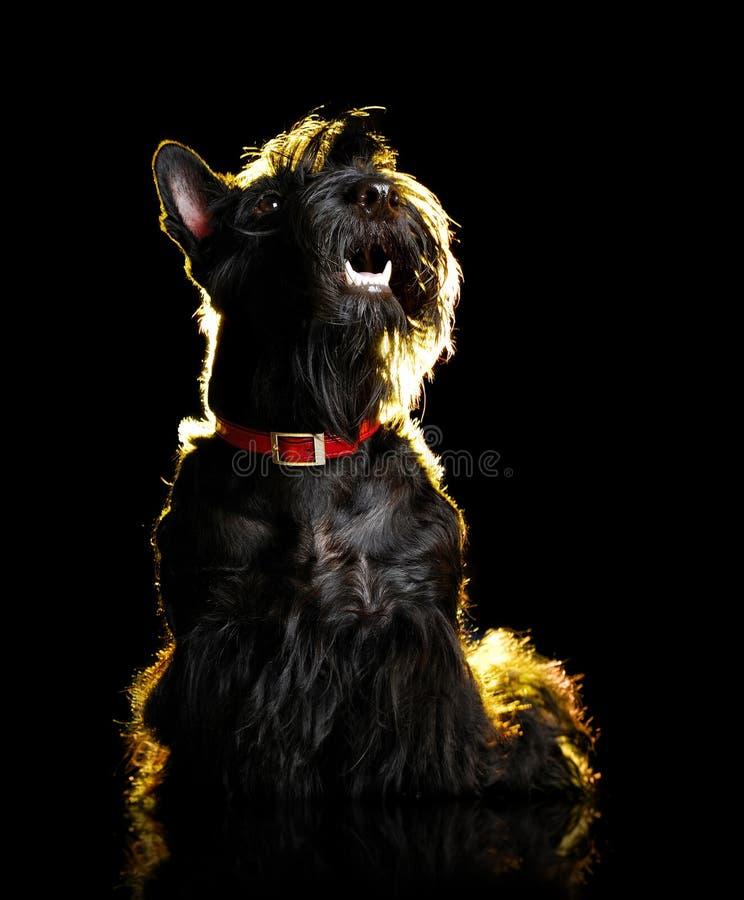 Portrait discret d'un terrier écossais noir recherchant images stock