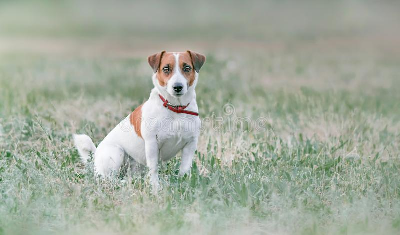 Portrait from distance of cute small white and red dog jack russel terrier sitting on grassland and looking forward at summer sunn stock photos