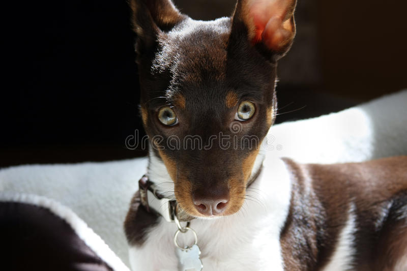 Portrait of a Dog royalty free stock photography