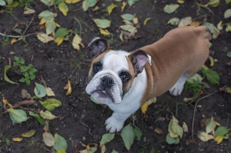 Portrait of a dog on the background of fallen leaves stock image