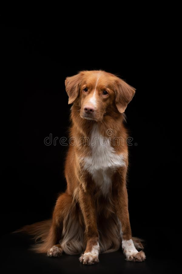 Portrait of a dog on a black background. Nova Scotia Duck Tolling Retriever. Pet in the studio. Portrait of a dog on a black background. Nova Scotia Duck Tolling stock images