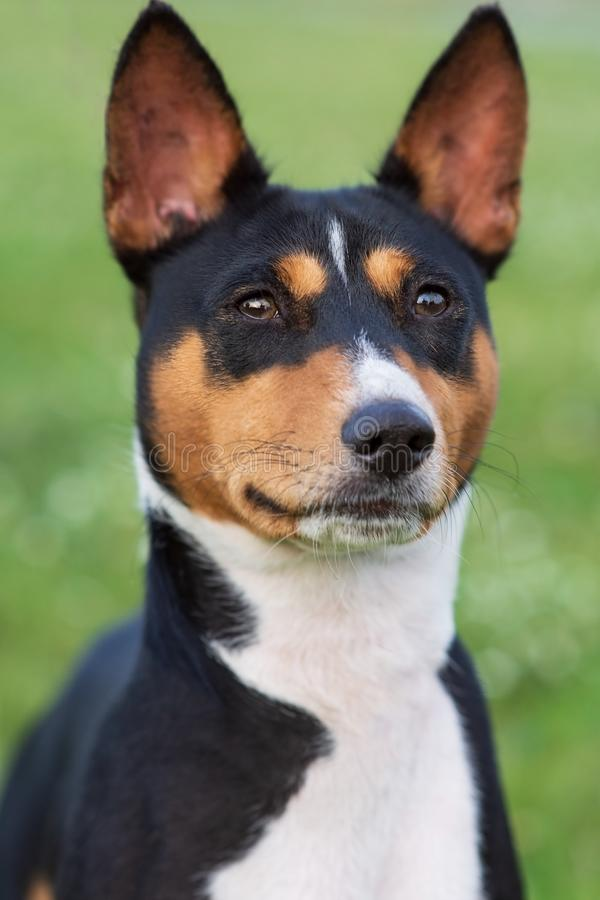Portrait of a dog breed Basenji in the Park on the green grass stock image