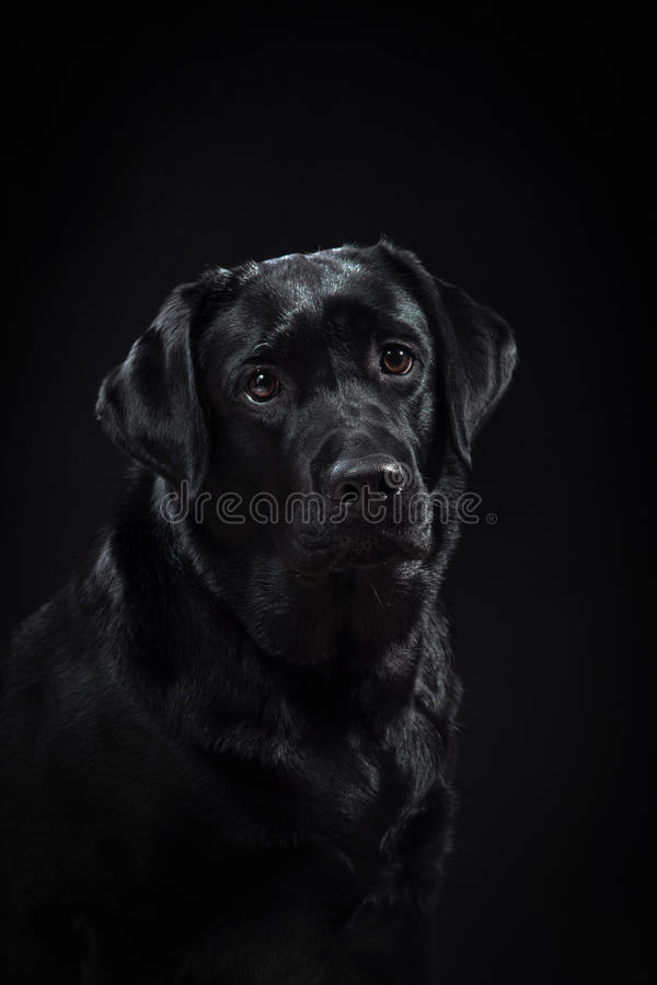 Portrait dog breed black labrador on a studio. Color background stock image