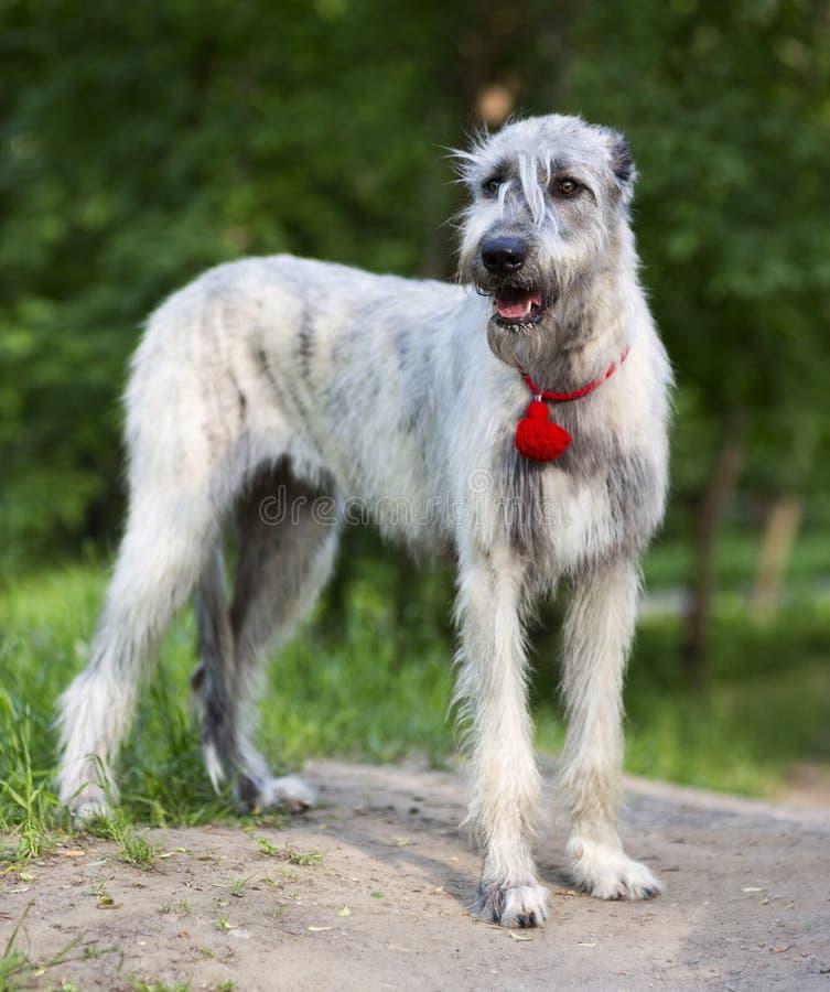 Irish Wolfhound portrait royalty free stock image