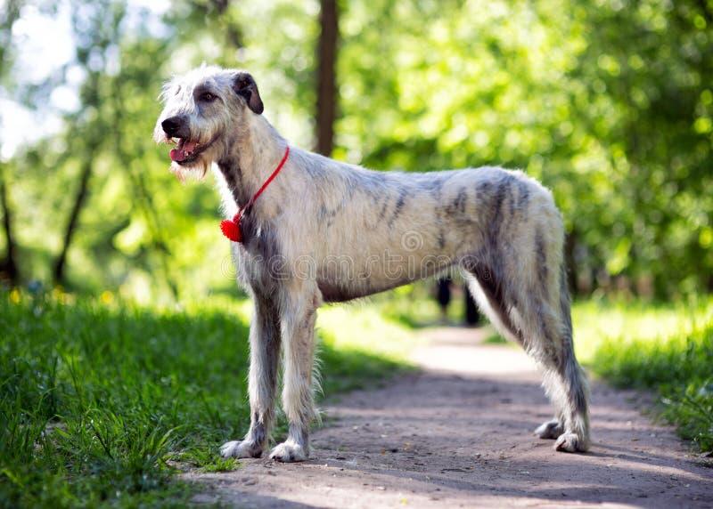Irish Wolfhound portrait in summer park royalty free stock photo