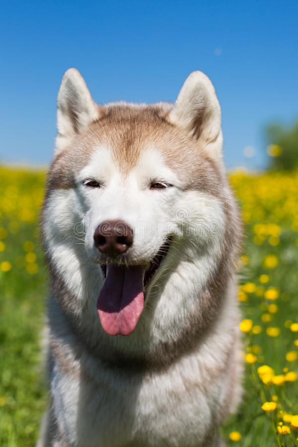Portrait of A dog breed siberian husky in the buttercup field. Image of Siberian husky is in beautiful grass and flowers stock images