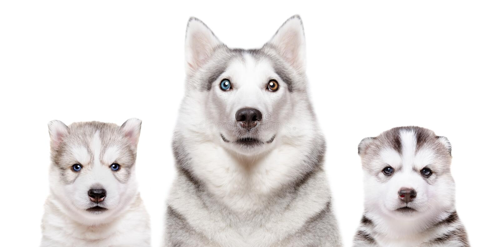 Portrait of a dog breed Siberian Husky with puppies stock photography