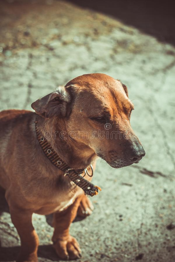 Dog in brown tones. Portrait of a dog in brown tones stock images