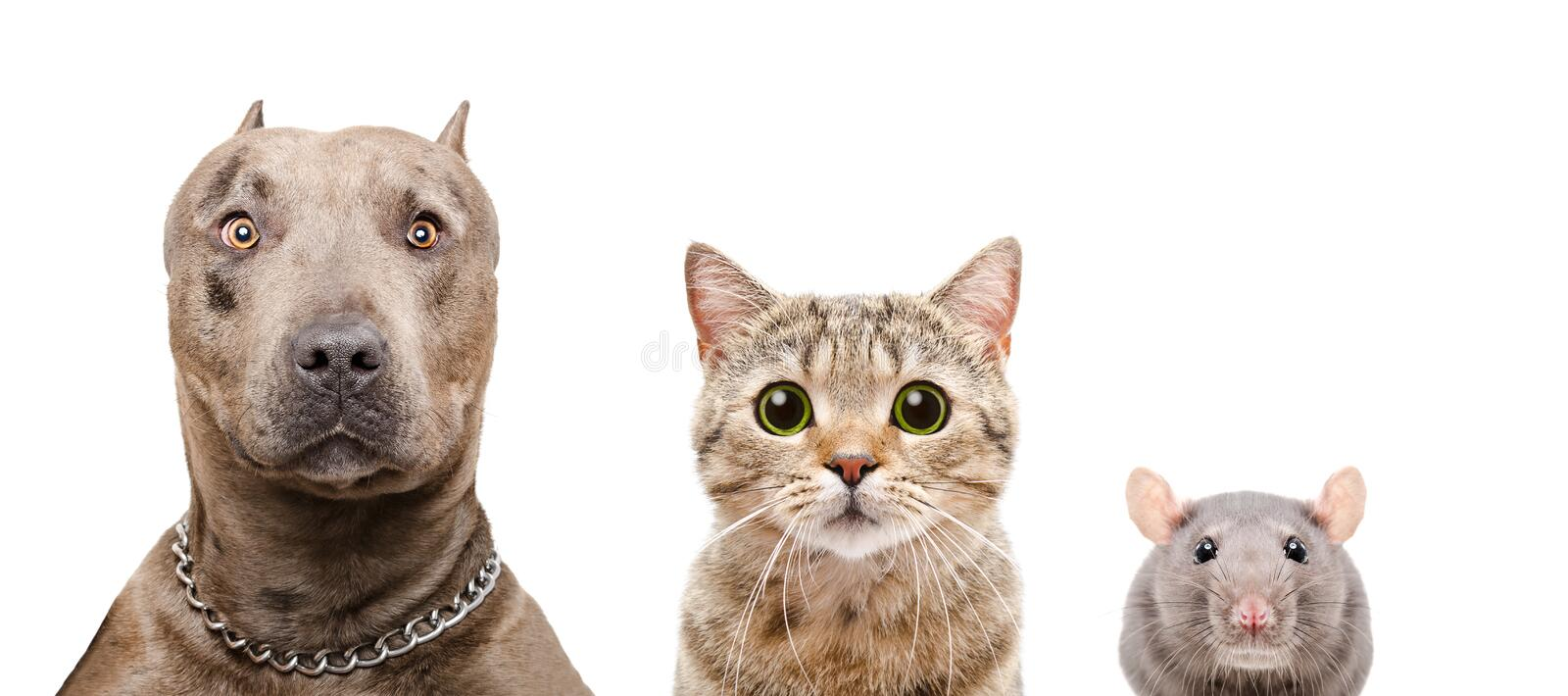 Portrait of dog, cat and rat stock images