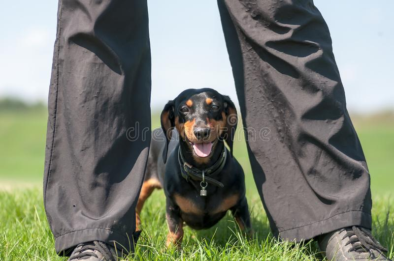 Portrait of a dog dachshund black tan, standing between man legs on grass against a blue sky with clouds. stock photography