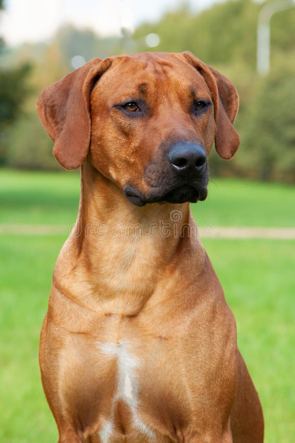 Portrait of dog. elite rhodesian ridgeback stock photo