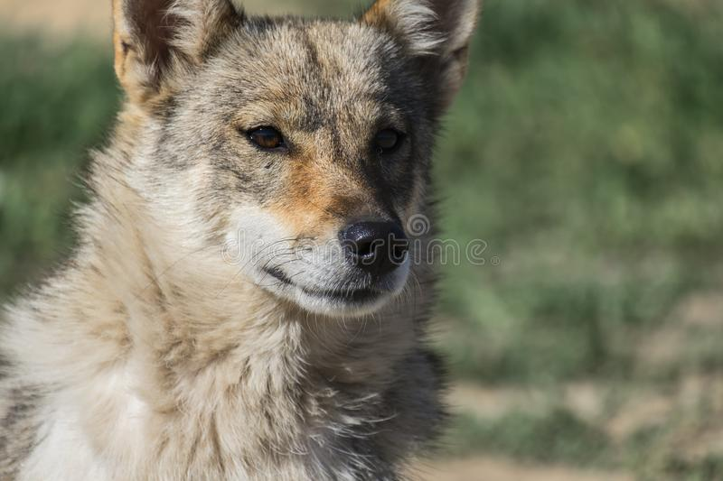 Portrait of a dog from the genus of wolves. Dog from the genus of wolves royalty free stock photo